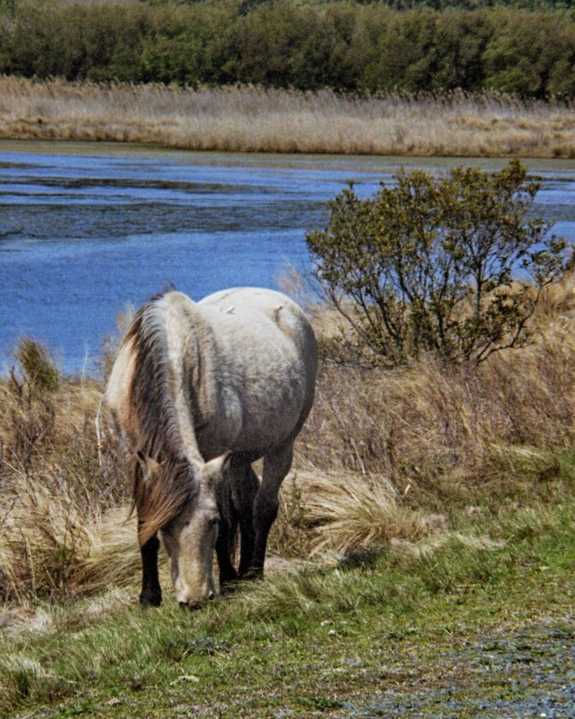 Grey Horse Chincatigue HDR Realistic