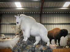Mountain Goat - Taxidermy Museum HDR Realistic