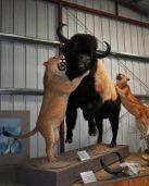 Mountain Lions vs Wood Bison CFX Double Tone and Darken