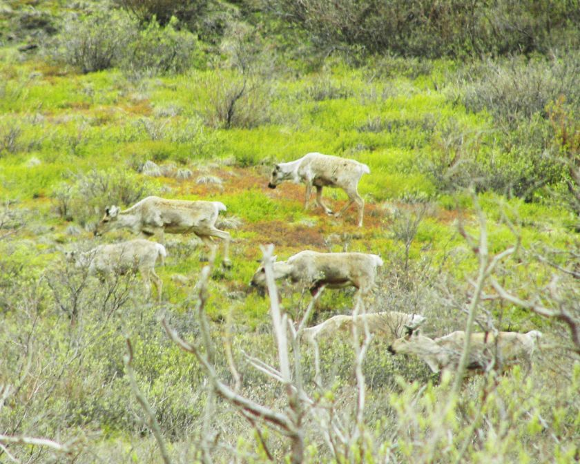Caribou Ektachrome 100 and Foliage