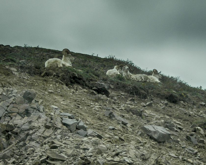 Dall Sheep HDR Outdoor 2