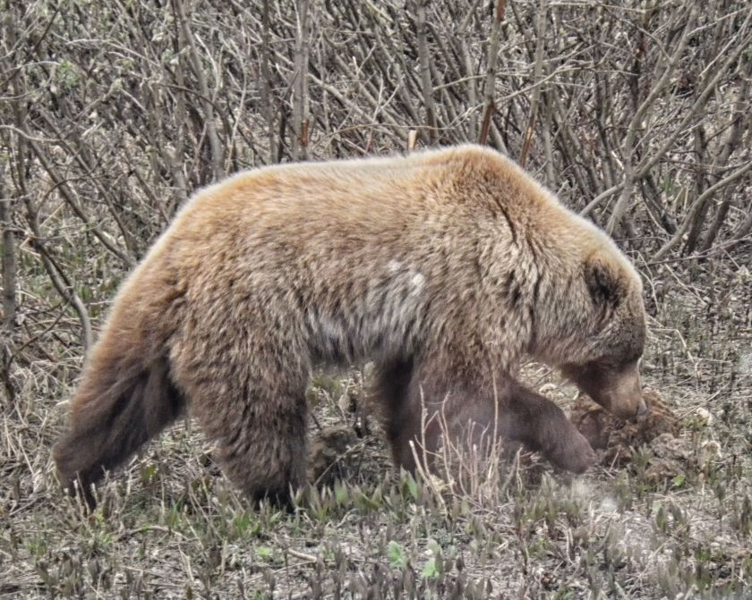 Grizzly in Road Revealing Detail Foliage