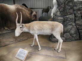 Saigo Antelope